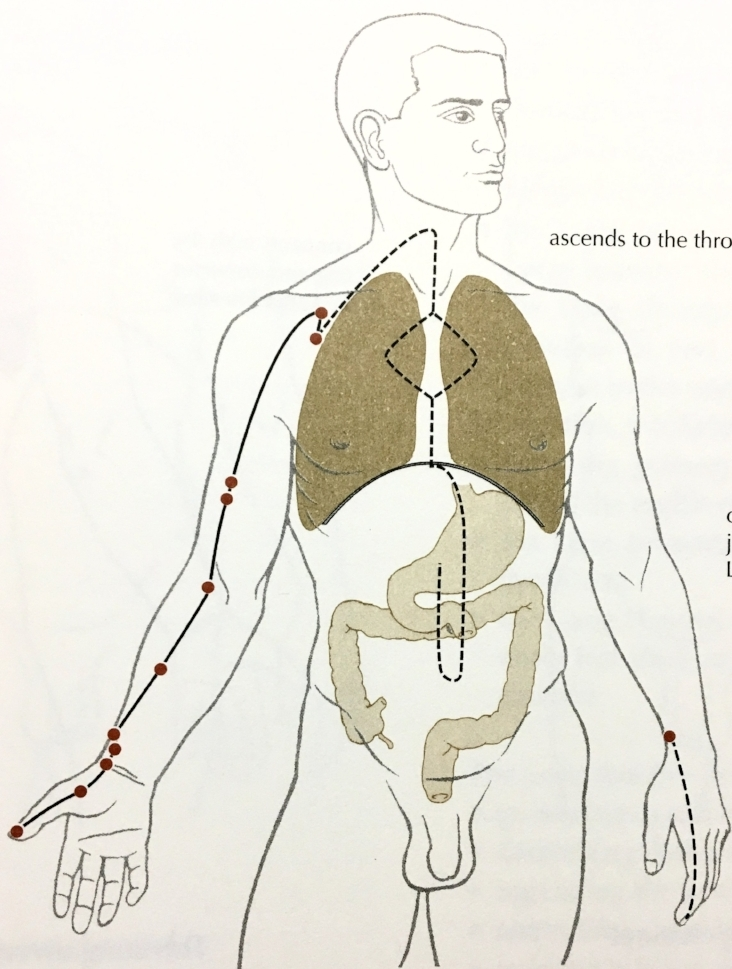 The Lung meridian runs from the inner front shoulder, along the front arm, to the thumb.