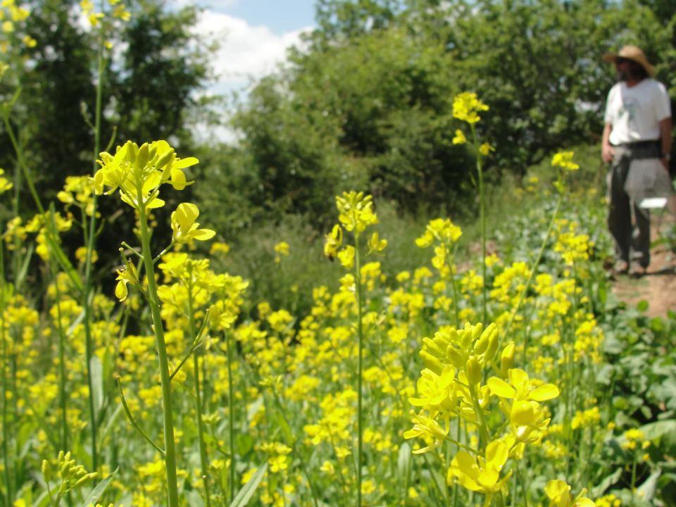 Mustardflowers.jpg