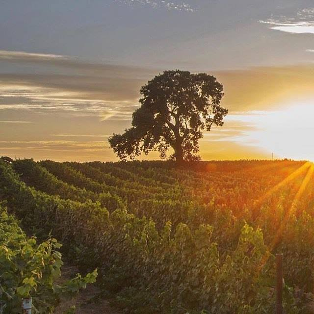 The sun-soaked vines of Lodi Wine Country.