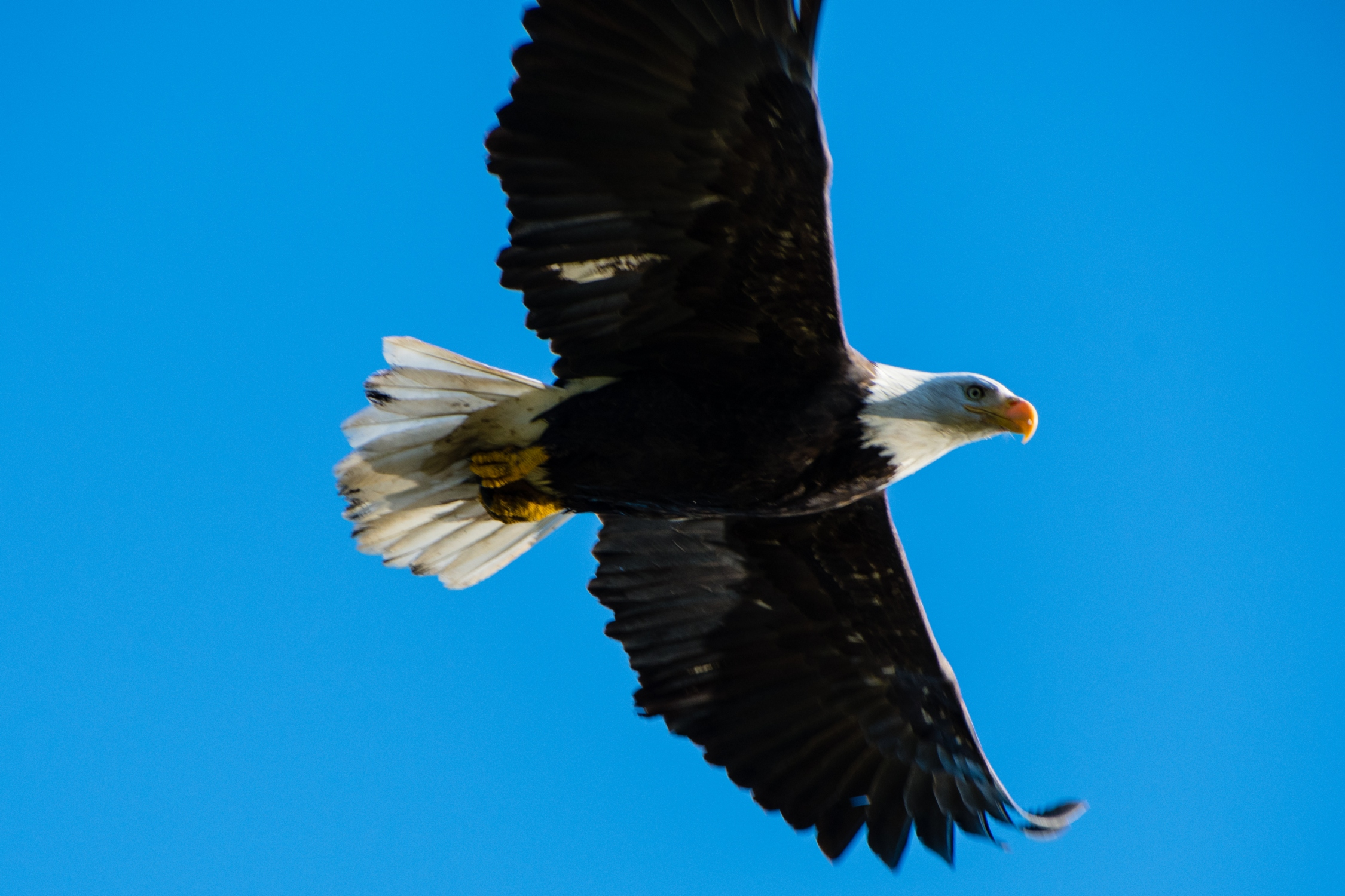 Eagle  by Anna Maria Wolf