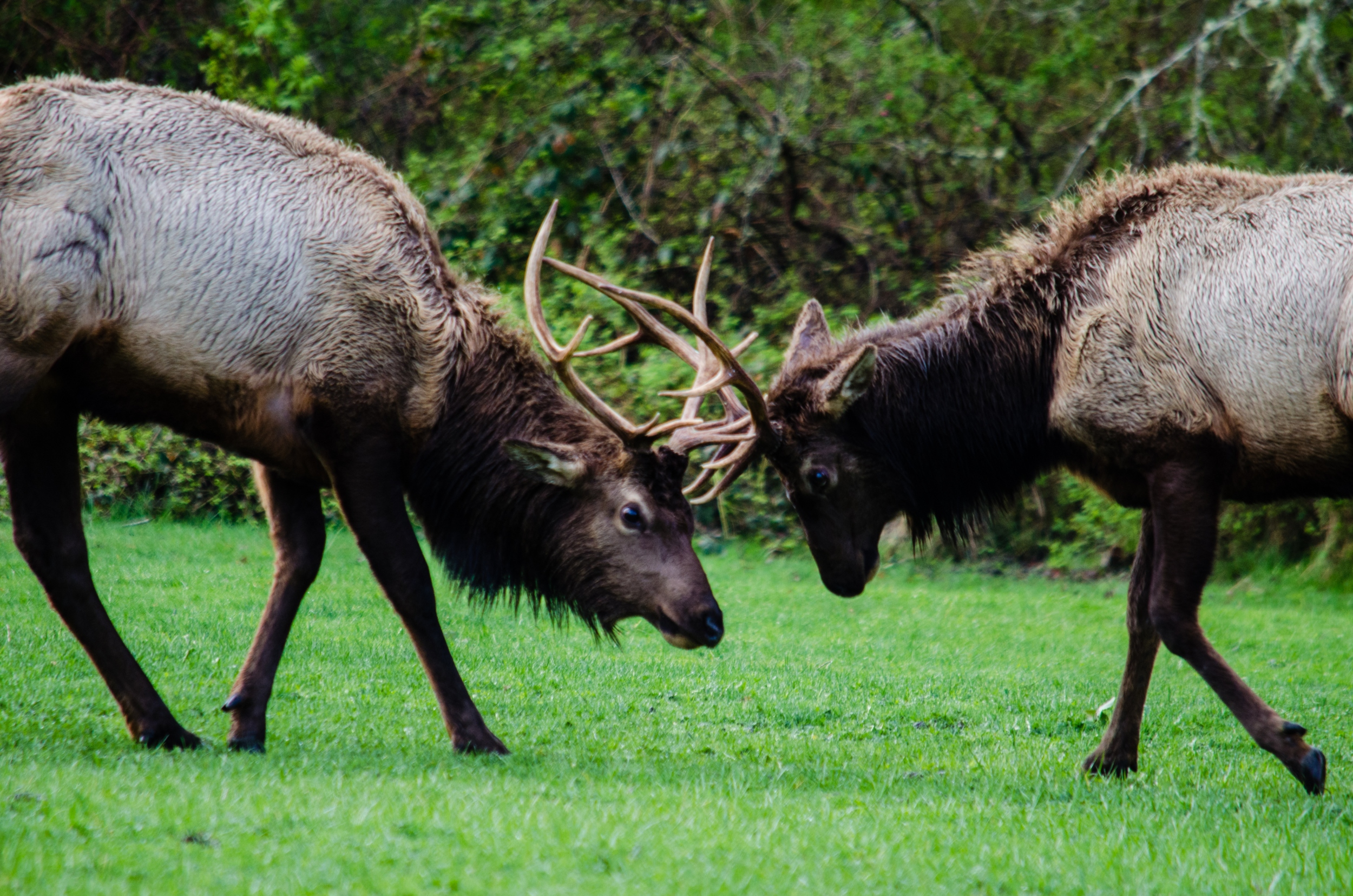 elk butting heads.jpg