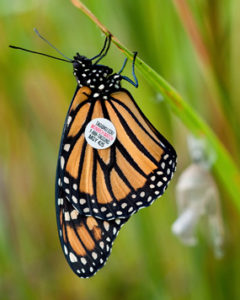 Monarch_Butterfly_with_Tag-240x300.jpg