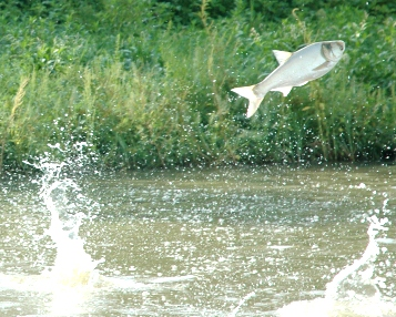 Silver carp jumping out of water. Silver carps jump when the water is disturbed. Photo courtesy of NPS.