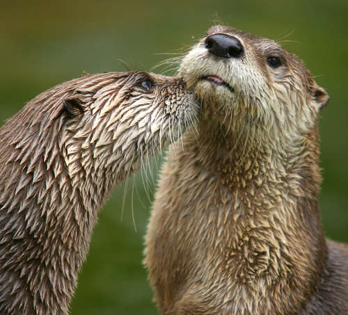 River otters. Photo courtesy of Friends of the Mississippi (FMR).