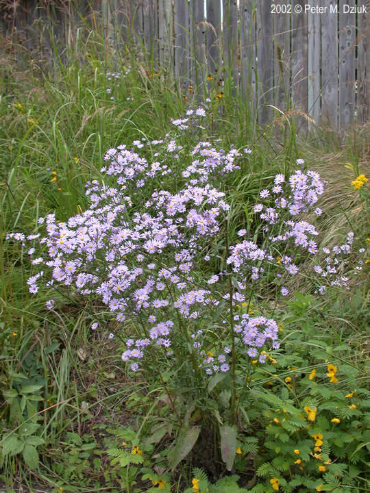 Sky-blue Aster: These delicate looking flowers are quite abundant and most varieties can be found just about anywhere in Minnesota.