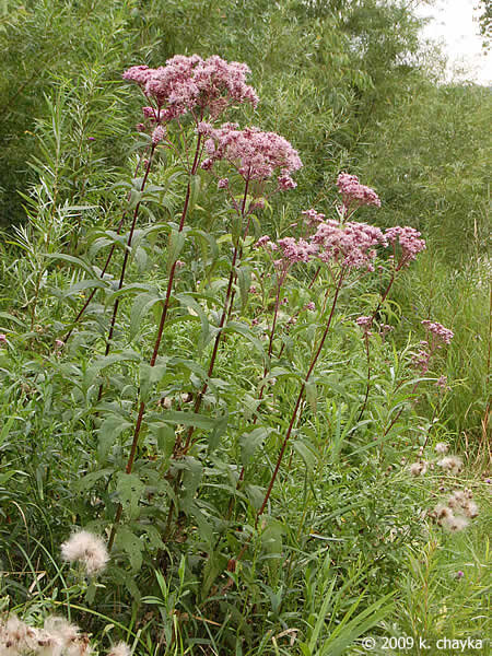 Joe-pye Weed: This behemoth is truly a sight to see when you happen upon it on a hike and with its wide leaf structure, can be used as a place to shelter under if one is caught in a surprise rain shower.