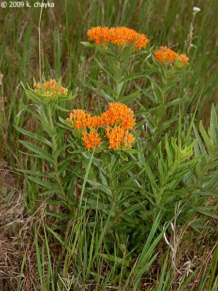 Butterfly weed: You are unlikely to escape the prairie without a milkweed seed fluff finding its way to your clothing and hitching a ride