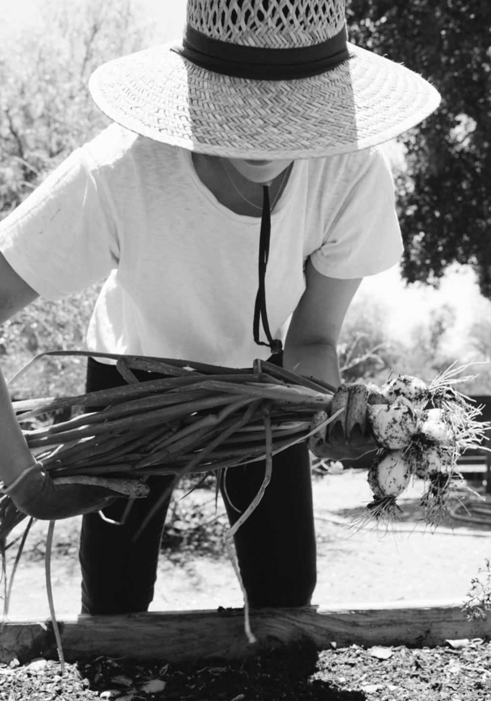 ONION HARVEST, OJAI, CA