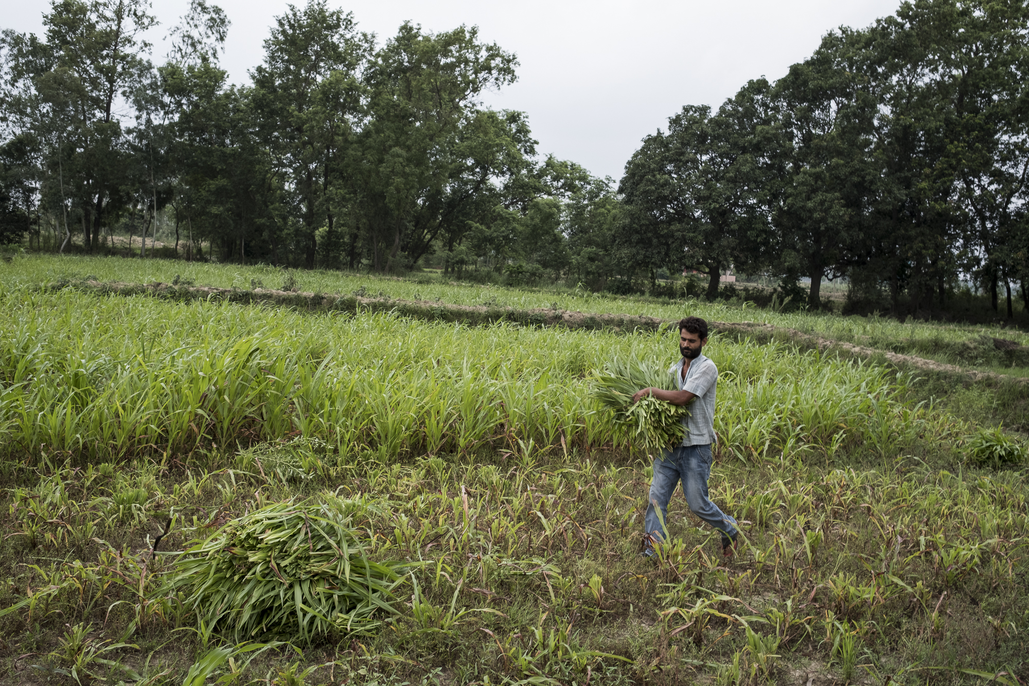 A farmer carries fodder for dairy cows on the property he runs along with Ajeet Karma and a small collective farmers.