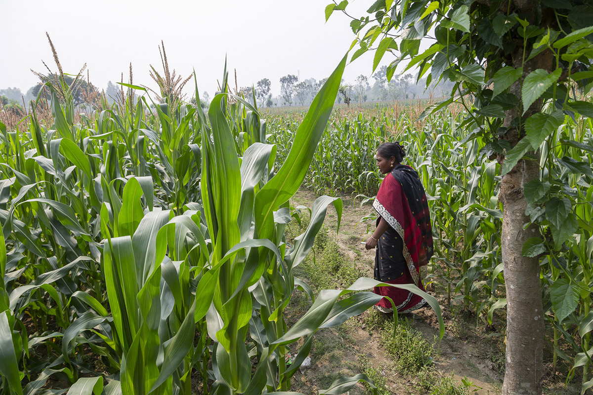 Kalpana walks out into her zero till maize field.