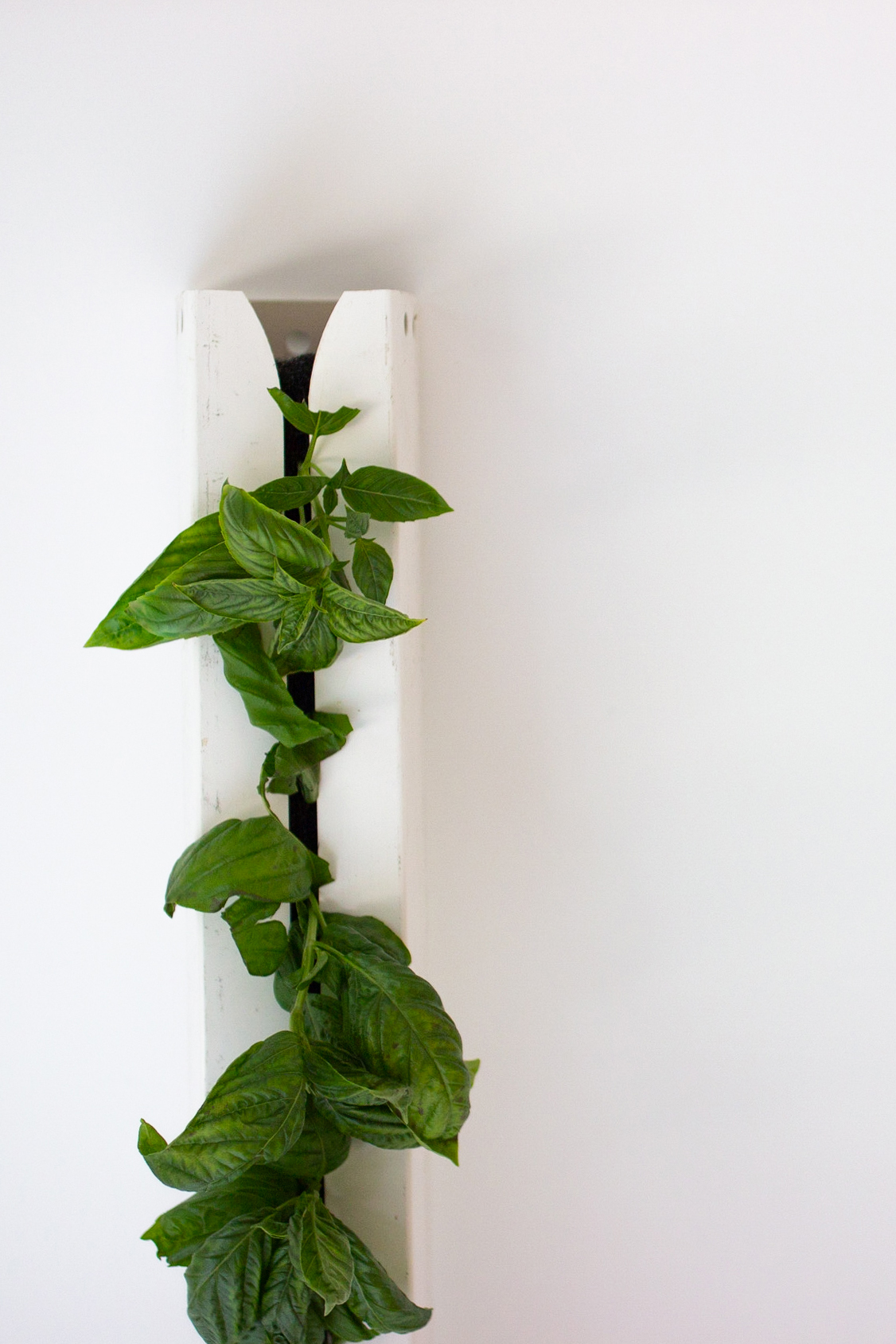 Our heirloom genovese basil is grown vertically. Cultivated in a soilless medium and combined with the latest LED lighting, we use 80% fewer resources than field-grown basil.
