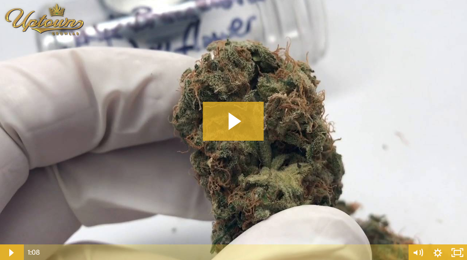 Bruce Banner Cannabis Seed Review by Uptown Growlab LIVE!