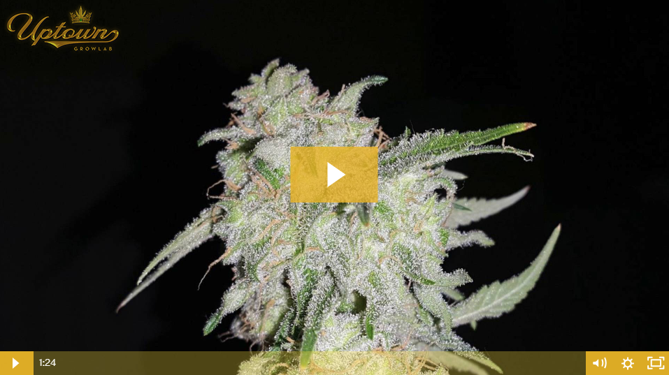 Girl Scout Cookies Cannabis Seed Review by Uptown Growlab LIVE!