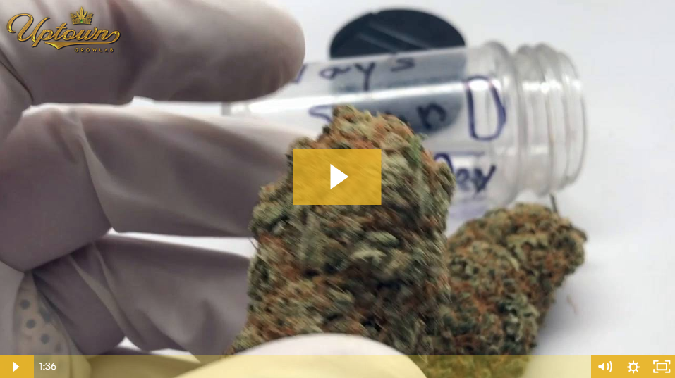 Sour Diesel Cannabis Seed Review by Uptown Growlab LIVE!