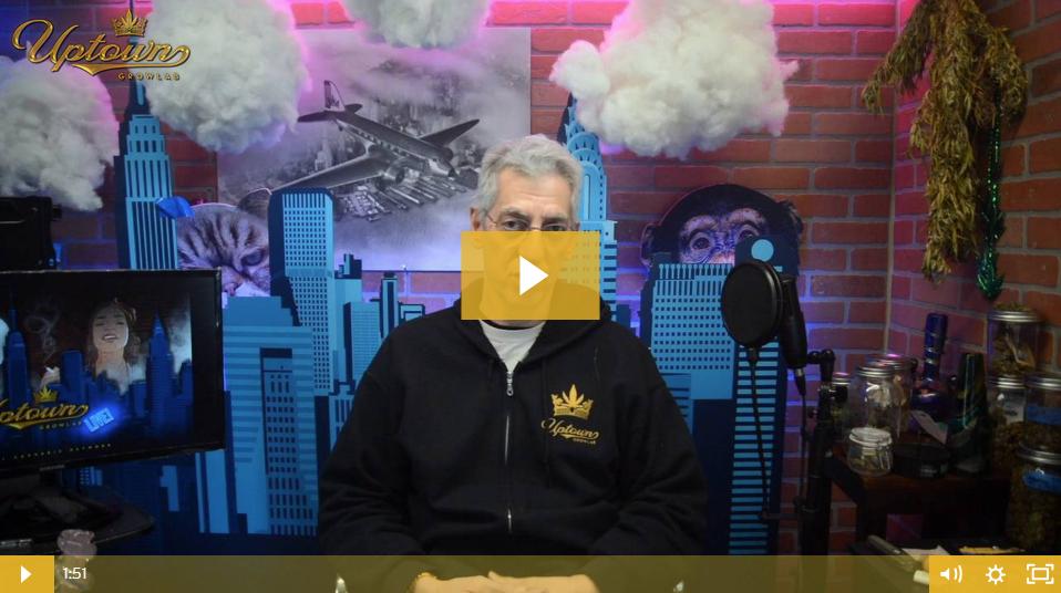 Super Lemon Haze Cannabis Seeds - Strain Review by Uptown Growlab LIVE!