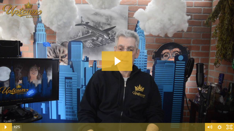 Northern Lights x Skunk Cannabis Seeds - Strain Review by Uptown Growlab LIVE!