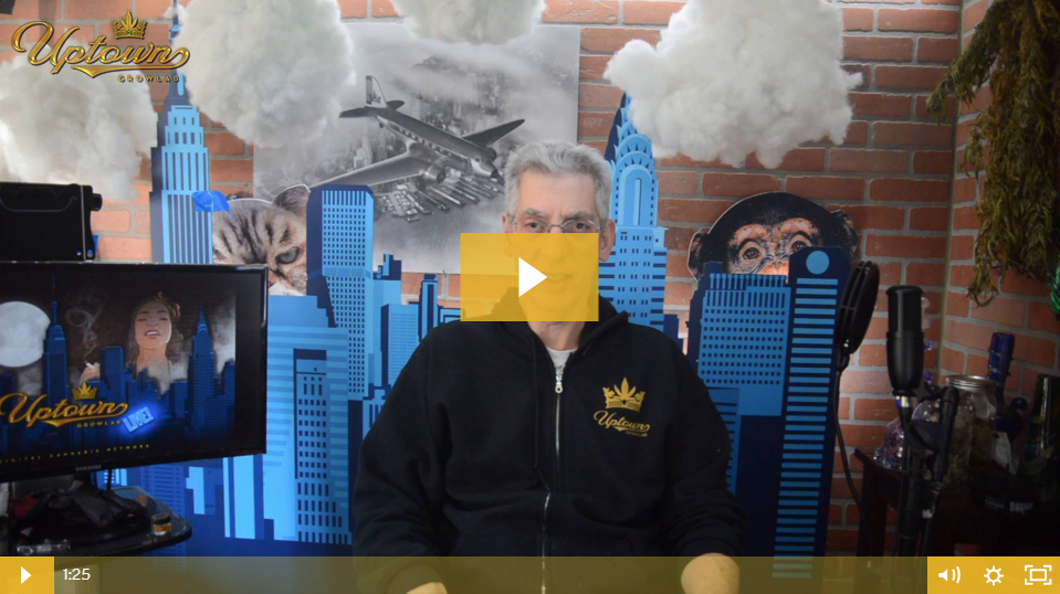 SFV OG Cannabis Seeds - Strain Review by Uptown Growlab LIVE!