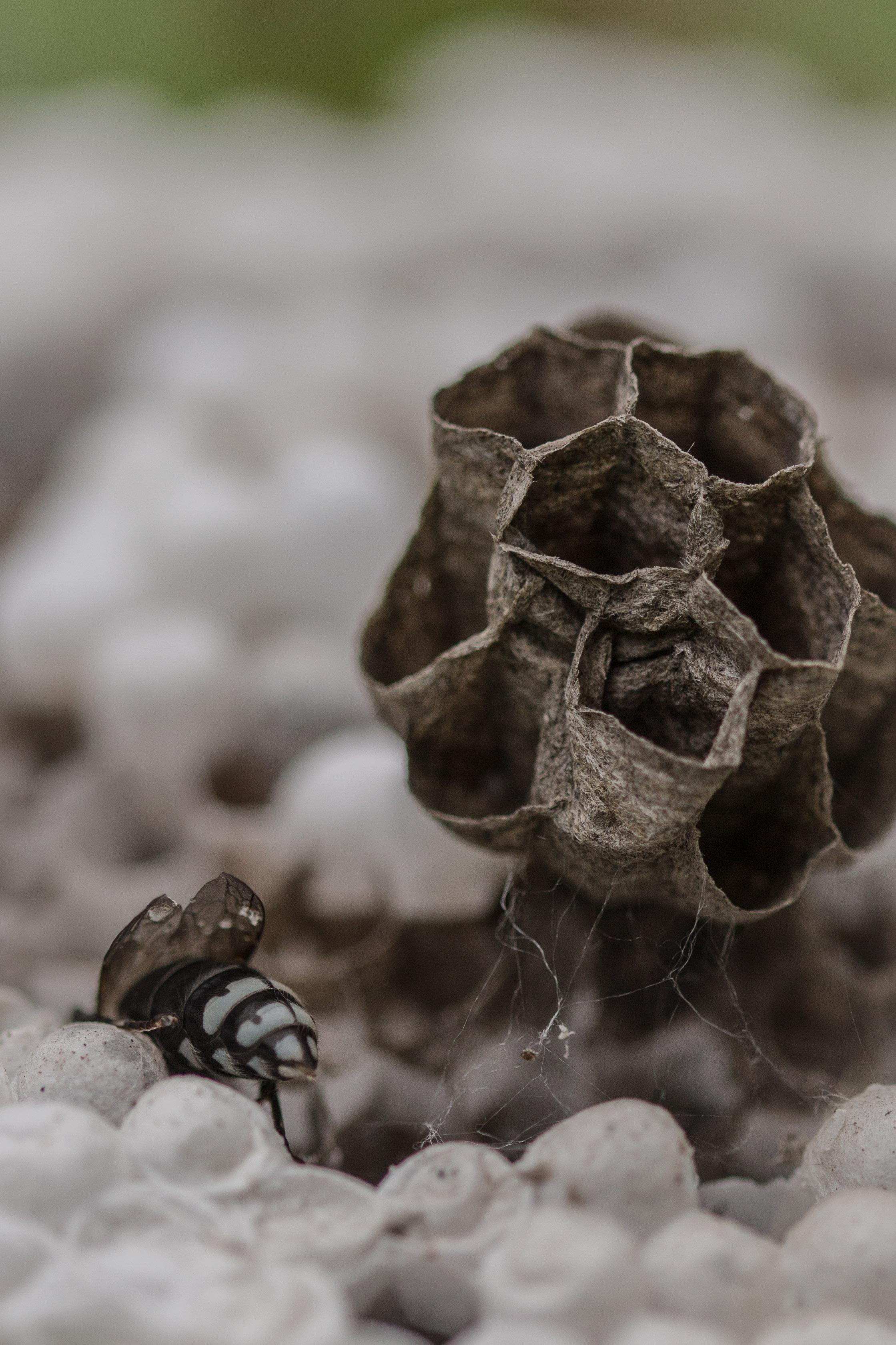 Hornet feeding the Larva