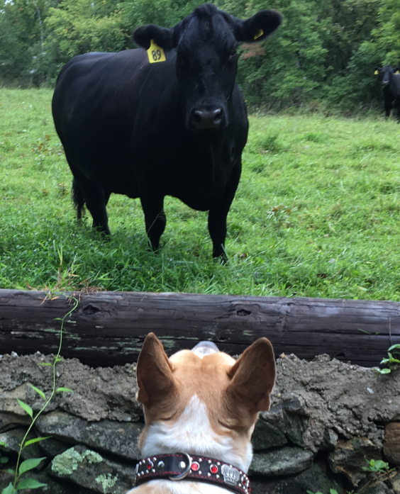 My Bully Boy facing a Bull