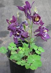 Columbine, or Aquilegia,They look great in bloom, but are less exciting for the rest of the summer. But they come back!