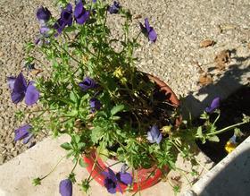 Pansies are pansies in the heat of summer.