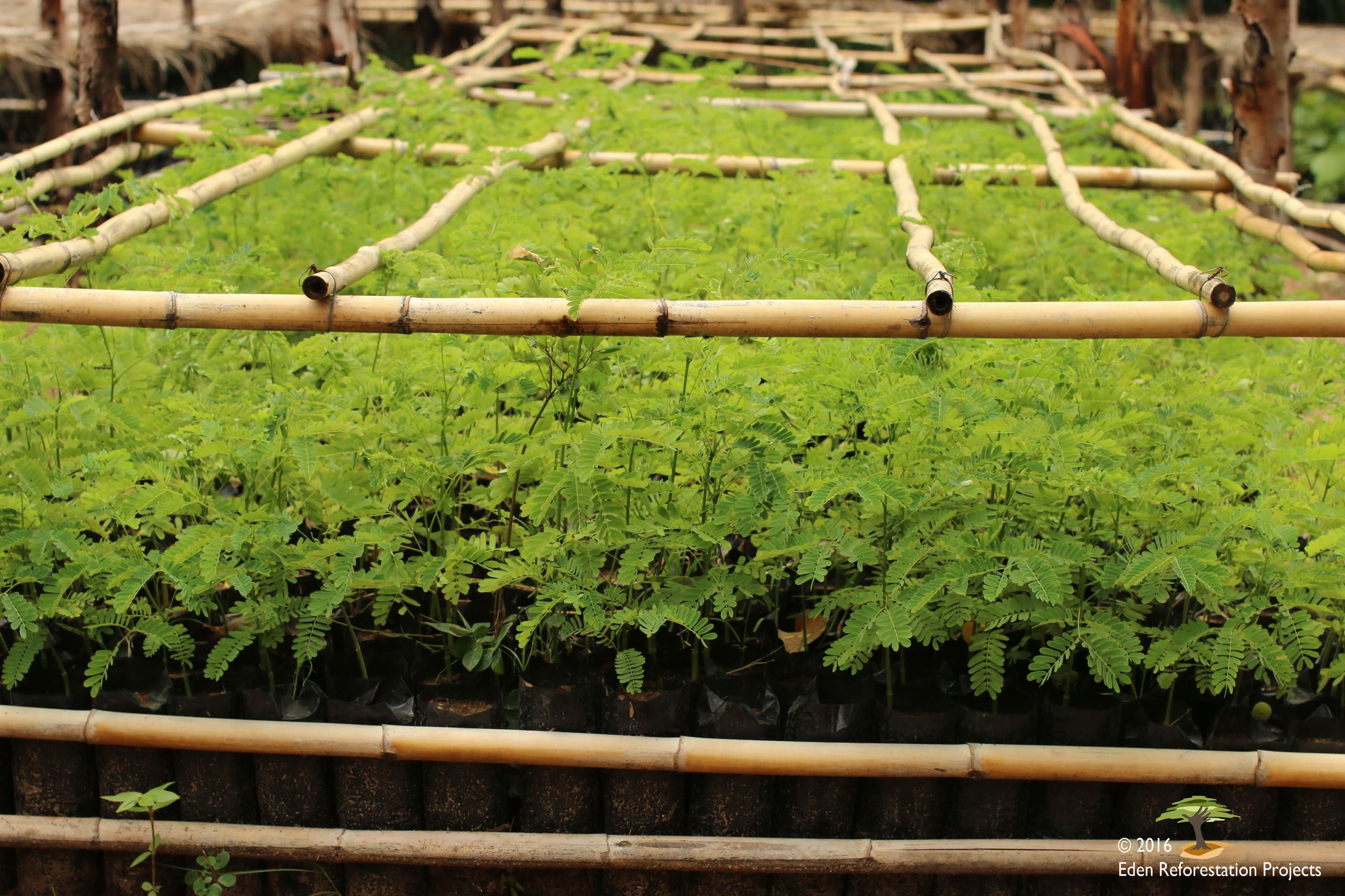 Seedlings Sarobidy with copyright.jpg
