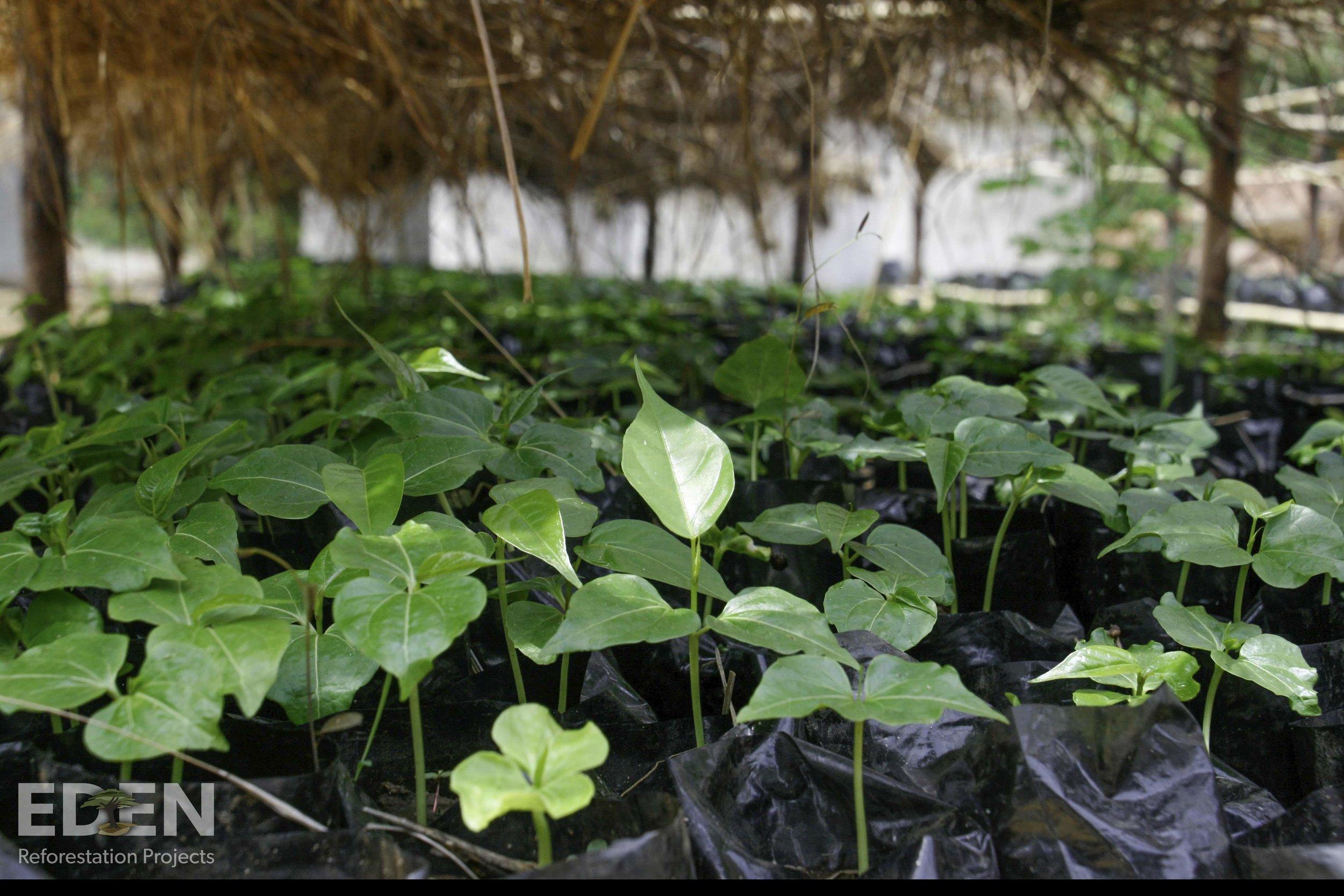 Madagascar_2012_Seedlings in nursery 1.jpg