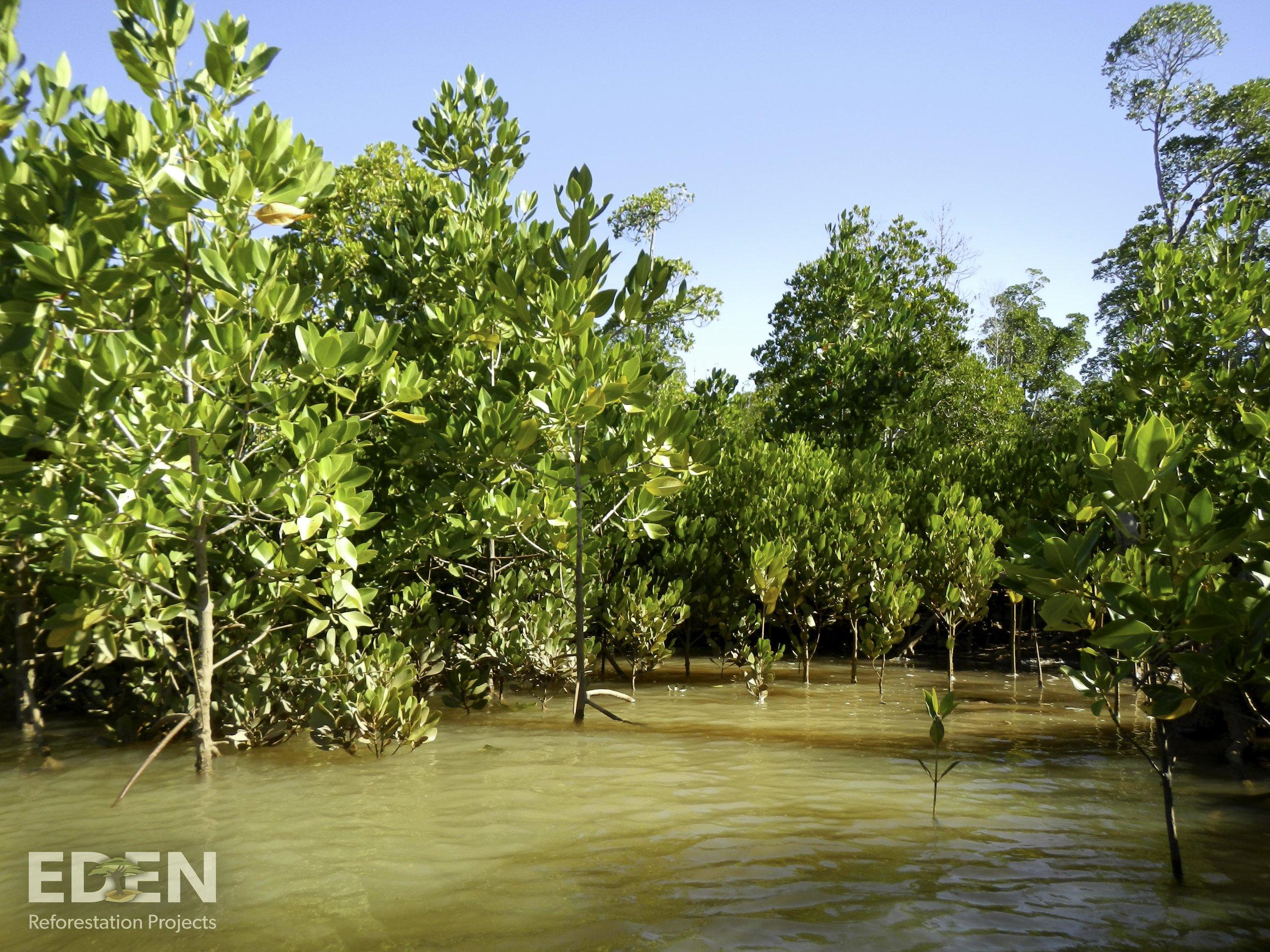 Madagascar_2013_Young mangrove forest.jpg