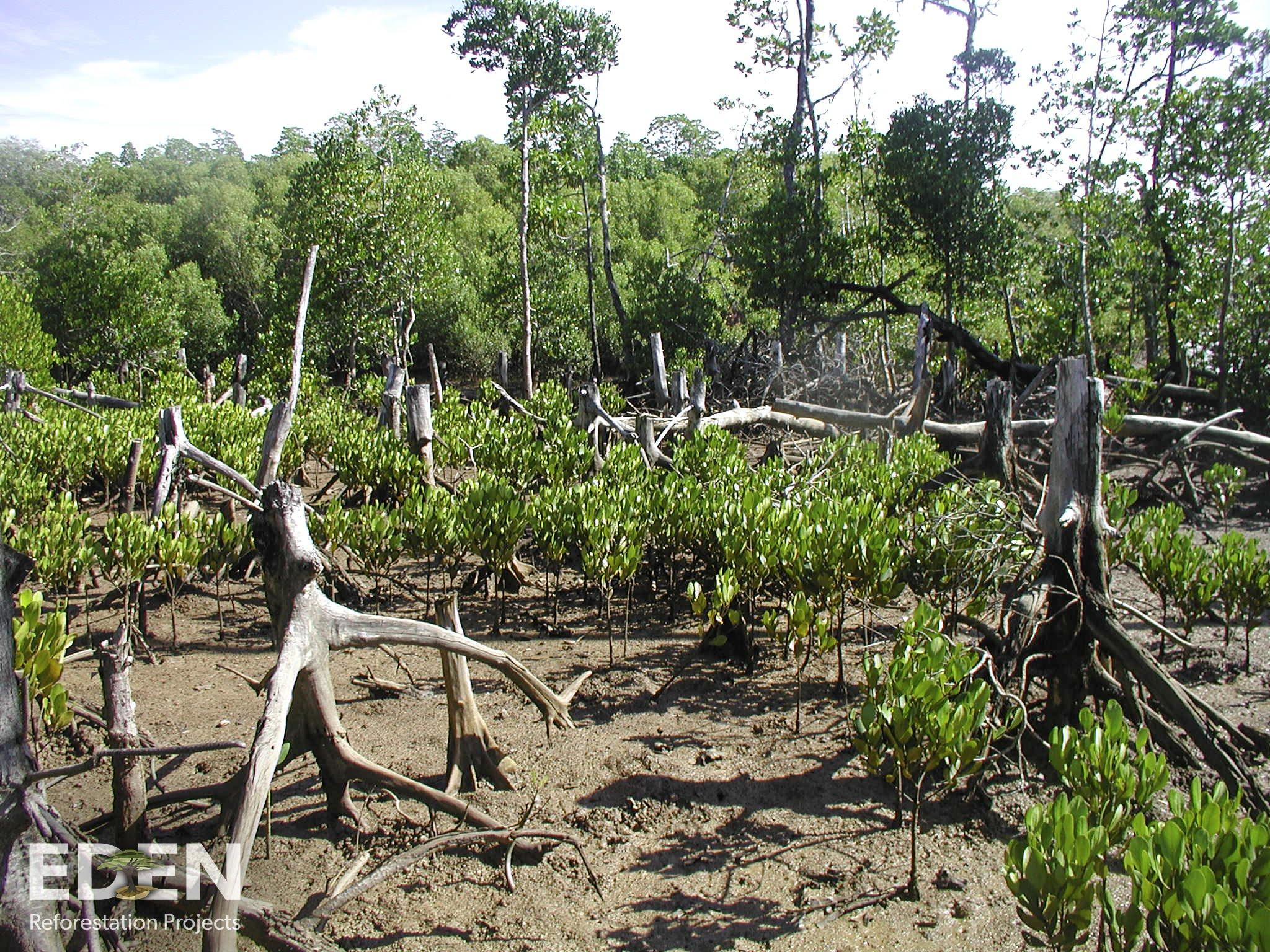 Madagascar_2011_Remnants of a mangrove forest.jpg