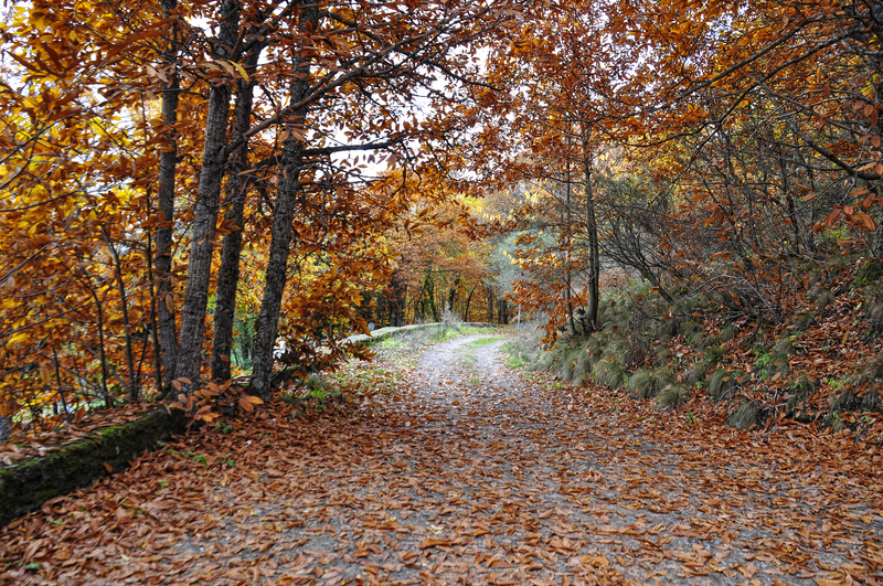 A wide paved trail covered with fallen fall leaves surrounded by trees.