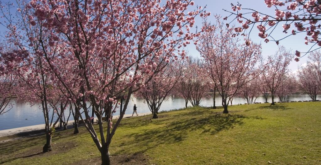 Credits: Lake Balboa Choose Lake Balboa for your Mechanical Bull Party during the Cherry Blossom Season.