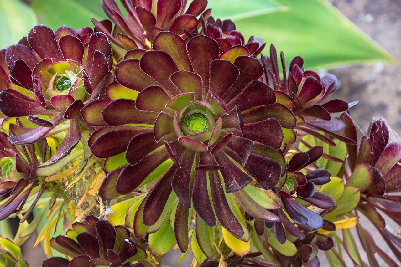 Aeonium Sp Succulent