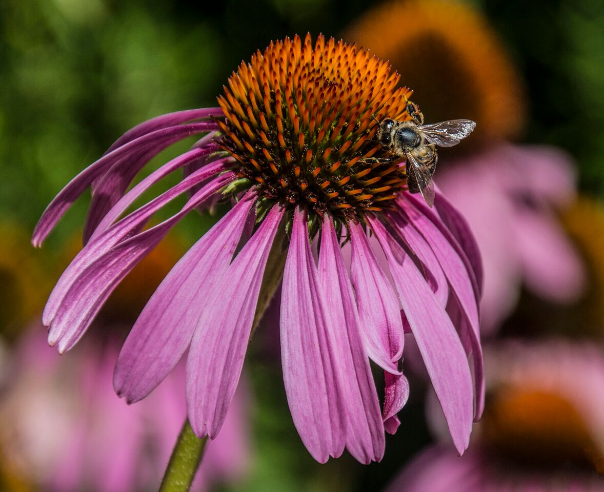 Echinacea Pink Cone Flower