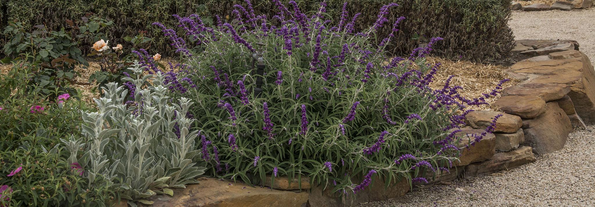 Highcroft Garden Salvia Leucantha