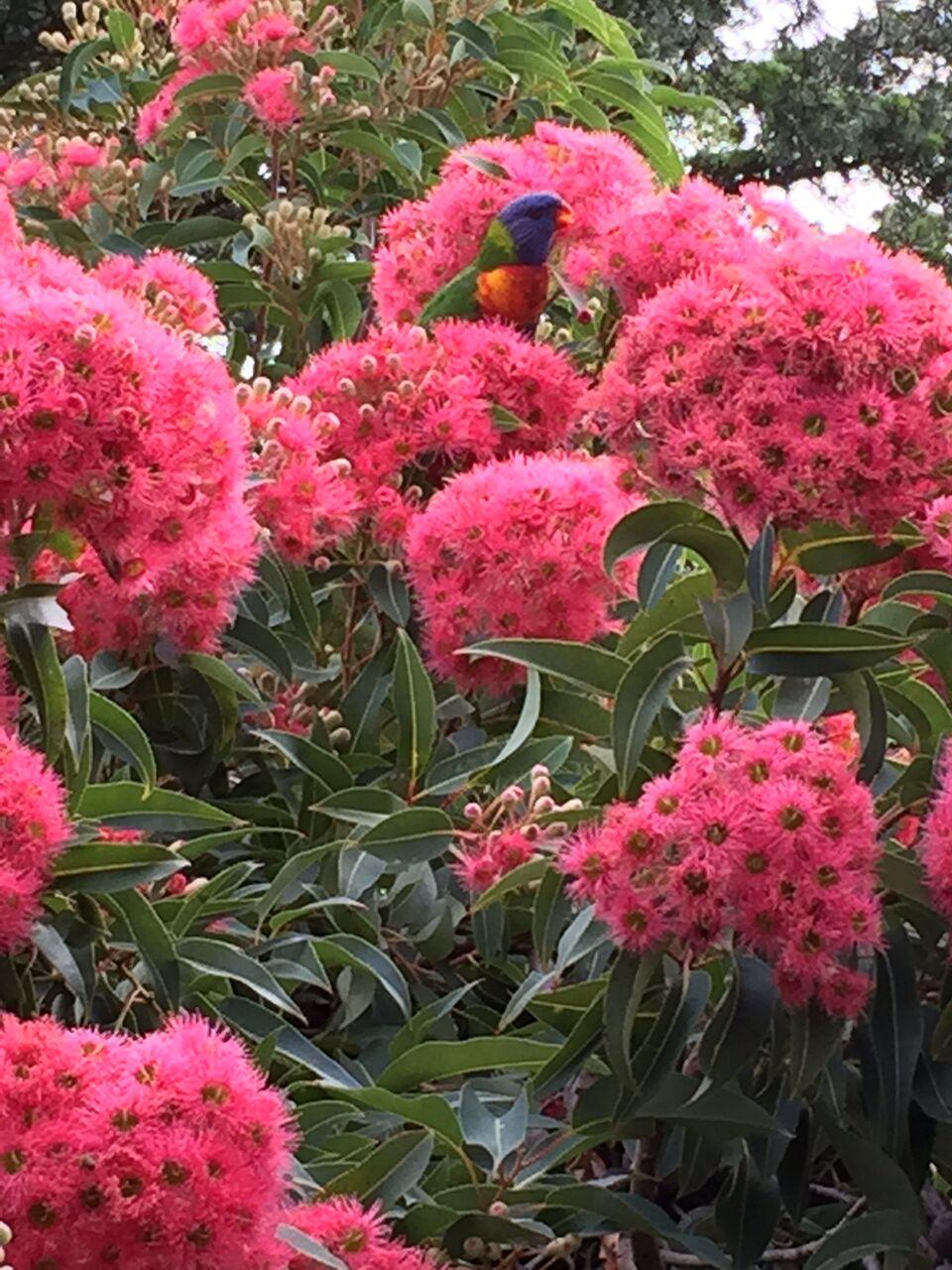 Corymbia Ficifolia 'Summer Beauty' Tipsy Hill