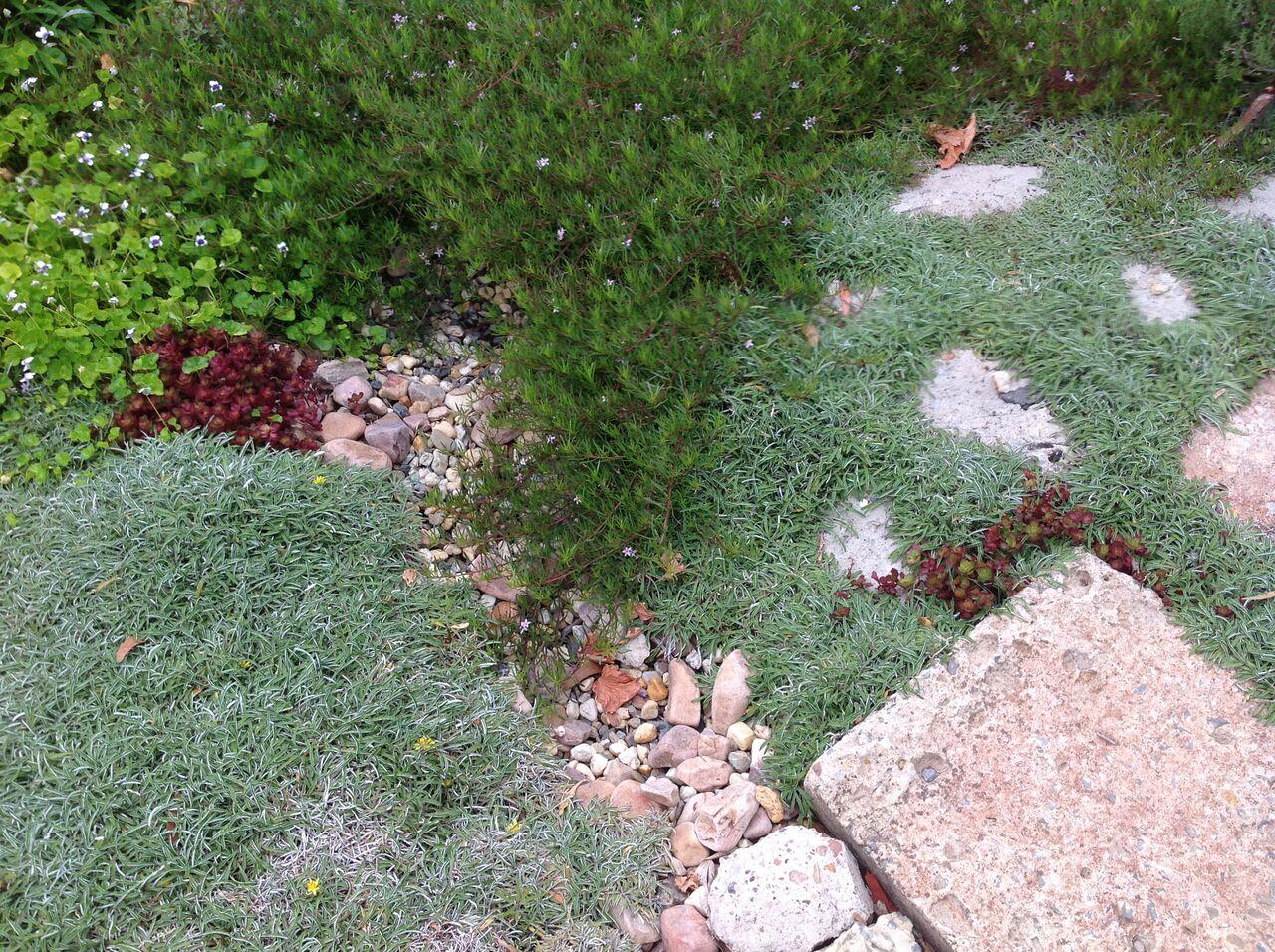 Dymondia At Evette Sunset Garden