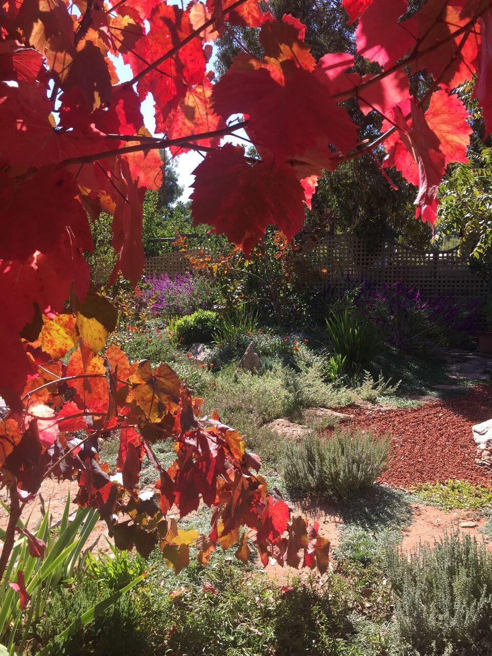 Grapevine Evette Sunset Garden
