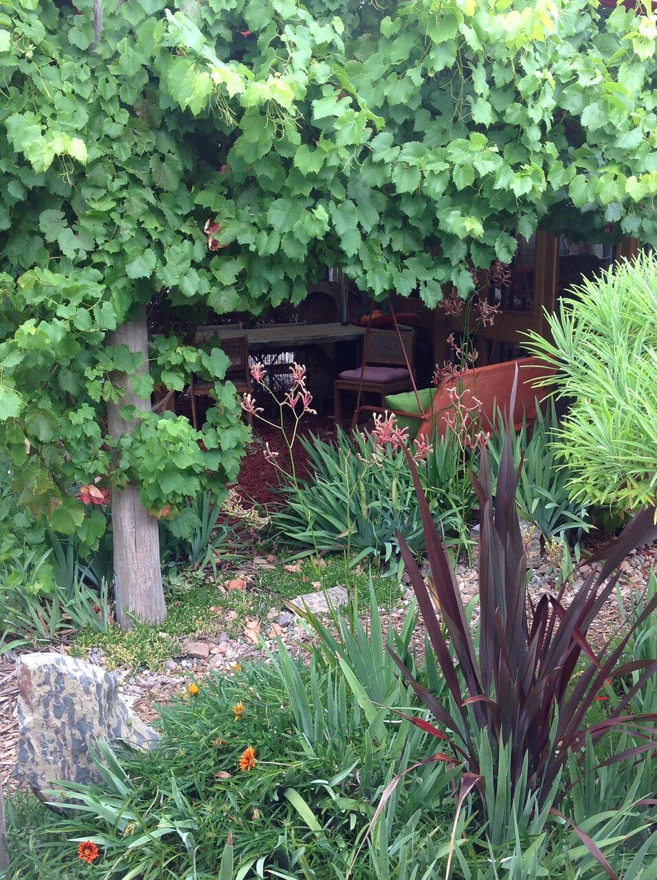 Ornamental Grape Evette Sunset Garden
