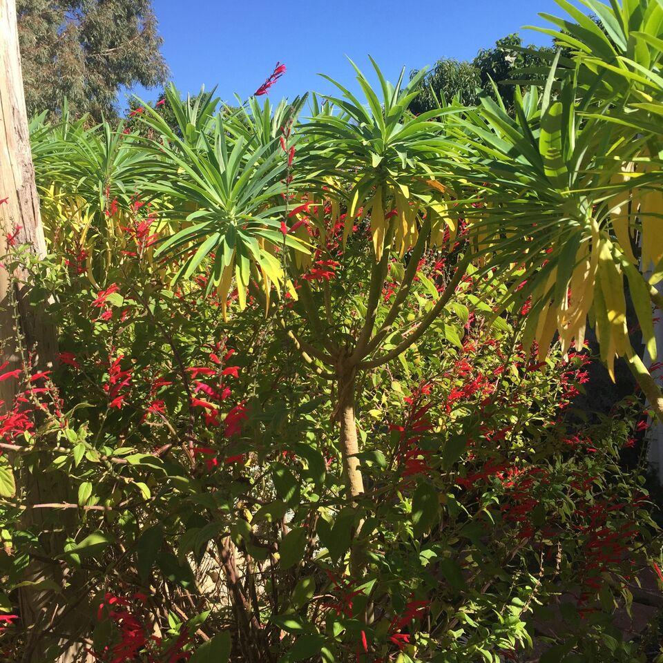 Tree Euphorbia At Evette Sunset Garden