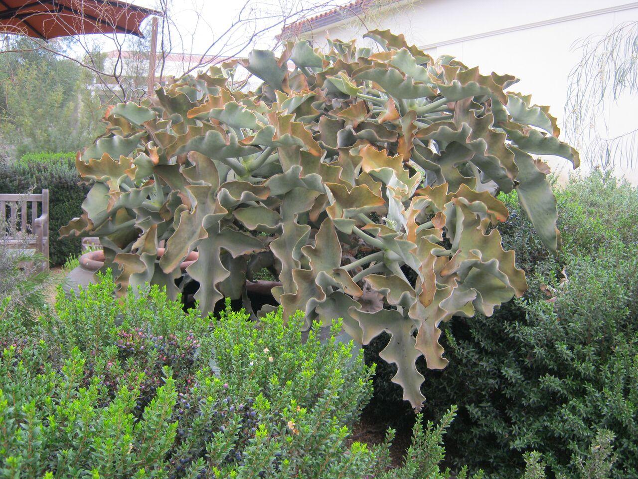 Kalanchoe Beharensis At The Huntington Cal