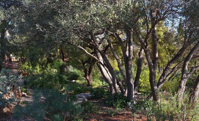 Olives At Sparoza Garden