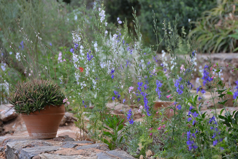 Haworthia Redula at Garden of Sparoza