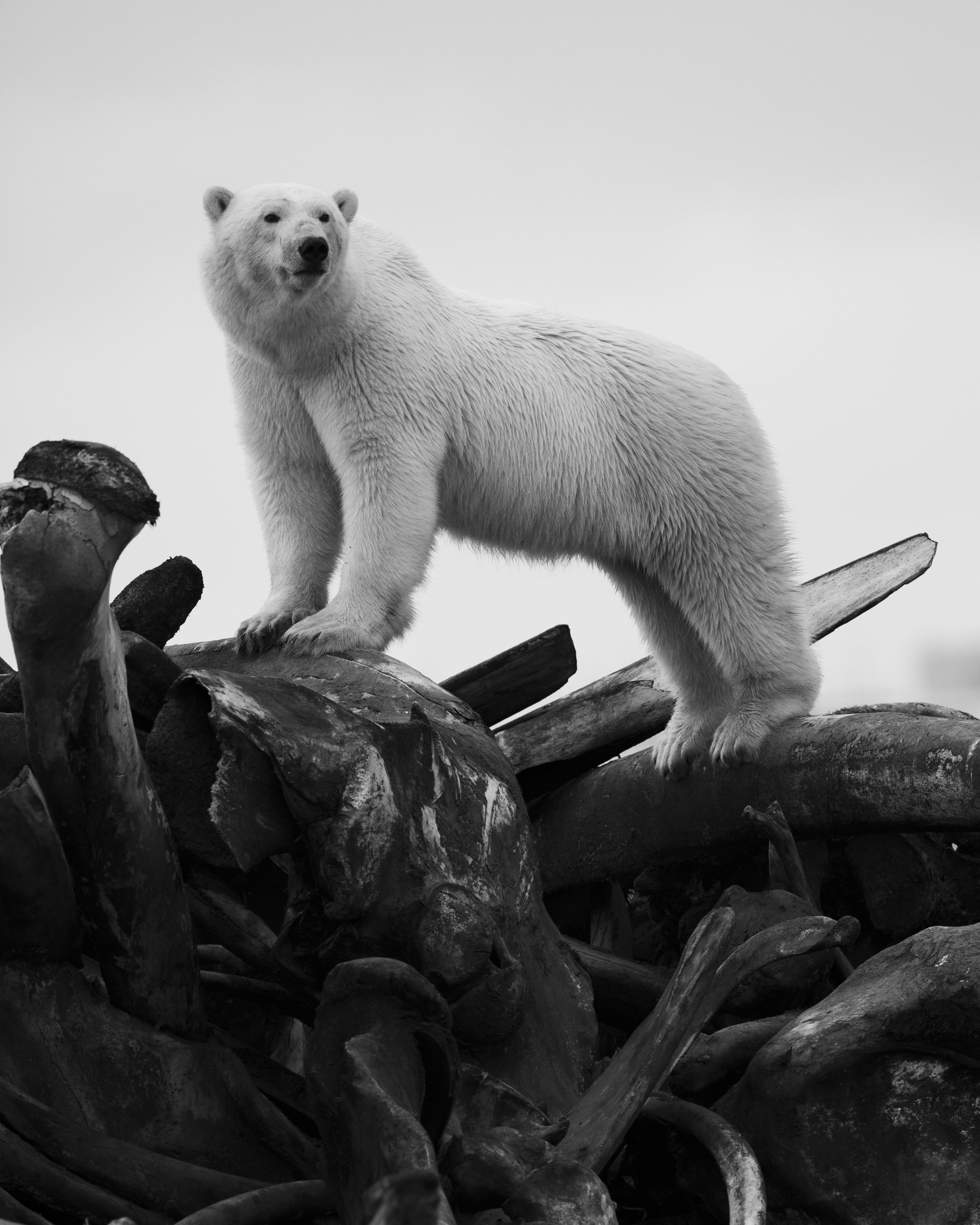 Adolescent Polar Bear on Whale Bones