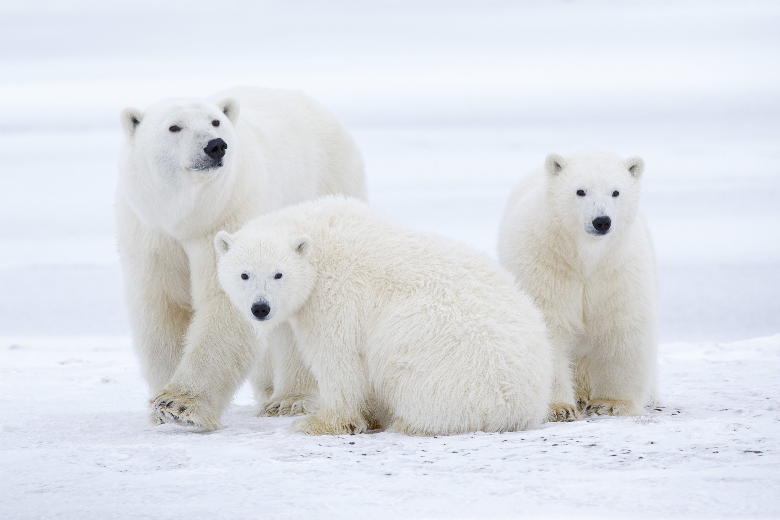 Mom With Cubs In Snow and Ice