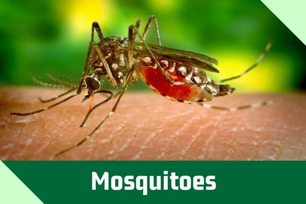 Mosquitoes.jpg