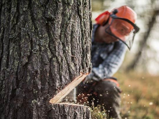 3 Hogst - Når treet er handplukka, vert det felt etter norsk standard. Trea er mellom 200 og 400 år gamle, så det er svære trær. Men vi har lært korleis vi handterer dei og tek vare på kvalitetane.Vi nyttar kun kjernen i stammen til langbord og resten til andre ting. Øvste slipp av treet blir til ved og krona på toppen målast opp til dyrefôr.Dette gir bærekraftig bruk av trea.