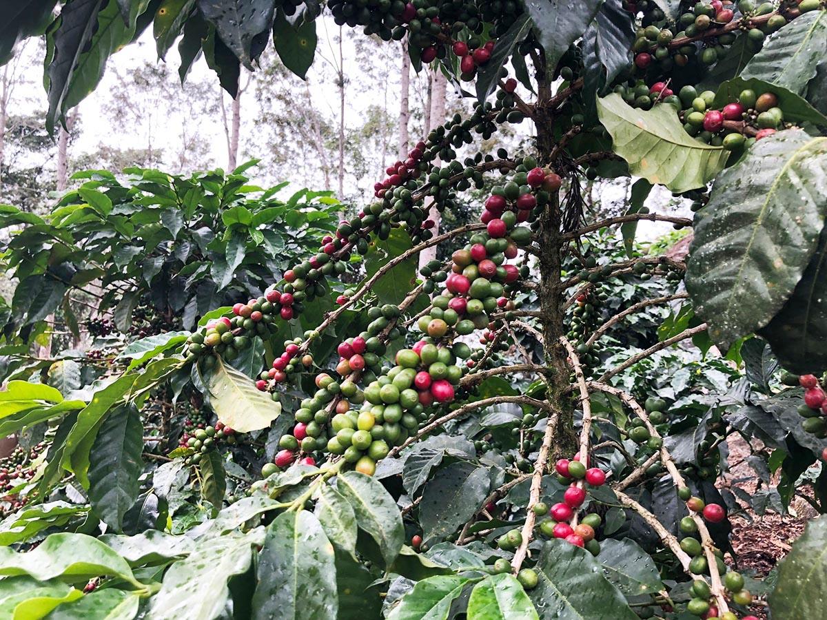 Cherries-on-Tree copy.jpg