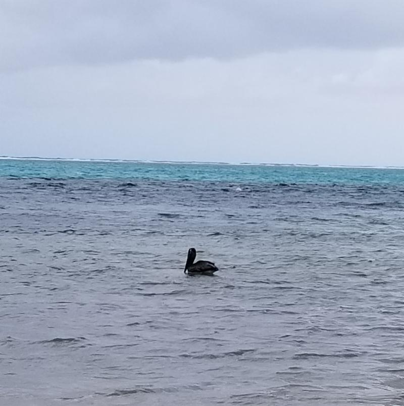 Pelican Kevin Alone.jpg