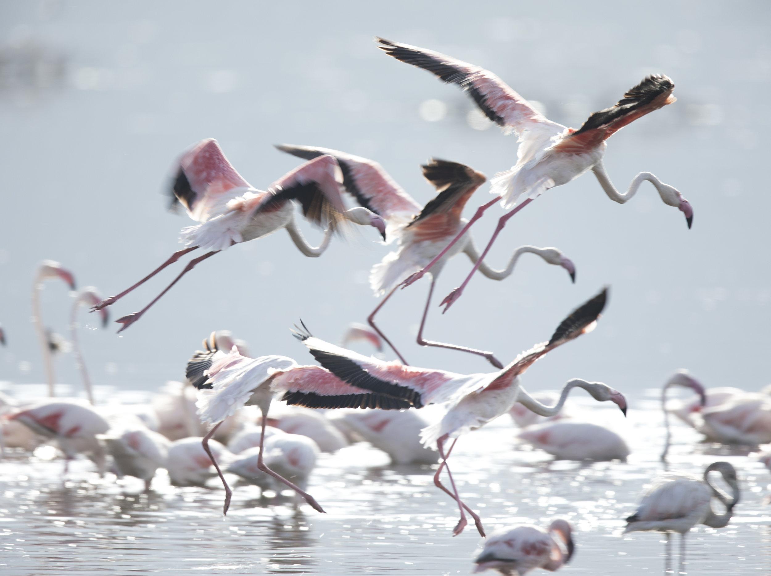 Flamingos_3177.jpg