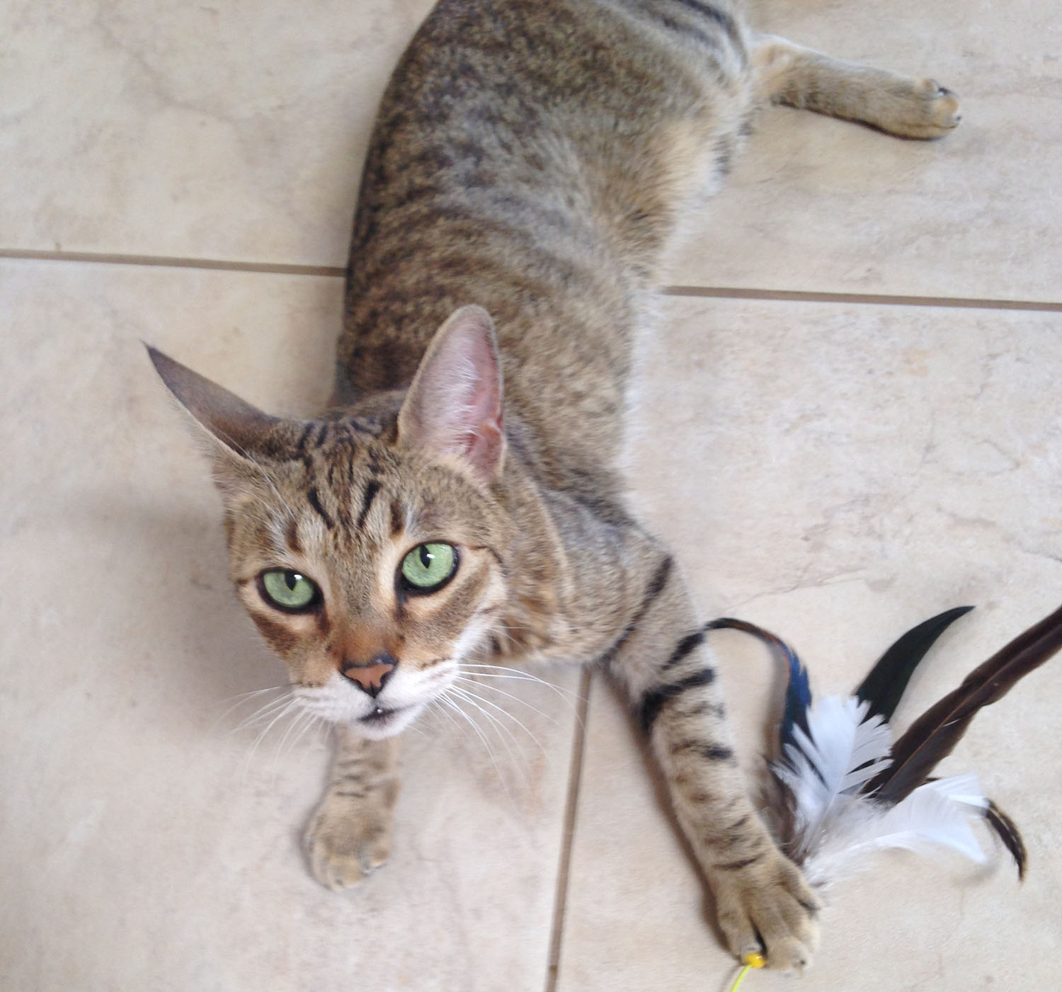 cat-playing-feather-toy.jpg